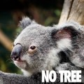 Australian Koala Foundation No Tree No Mee - koala faces extinction