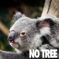 Australian Koala Foundation No Tree No Mee - koala faces extinction