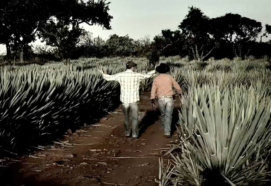 Avion Agave Fields in Jesus Maria