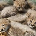 Baby Cheetahs
