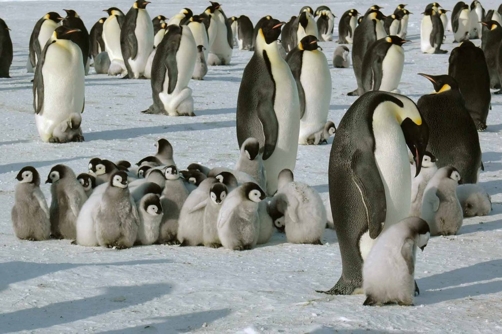 chicks-in-a-creche-whichaway-camp-in-antarctica