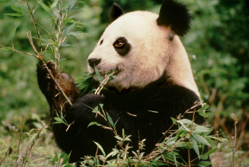 Giant Panda WWF-