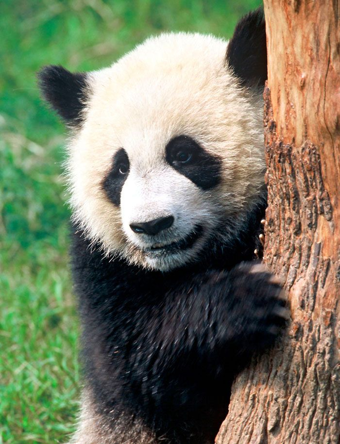 Giant Panda WWF--