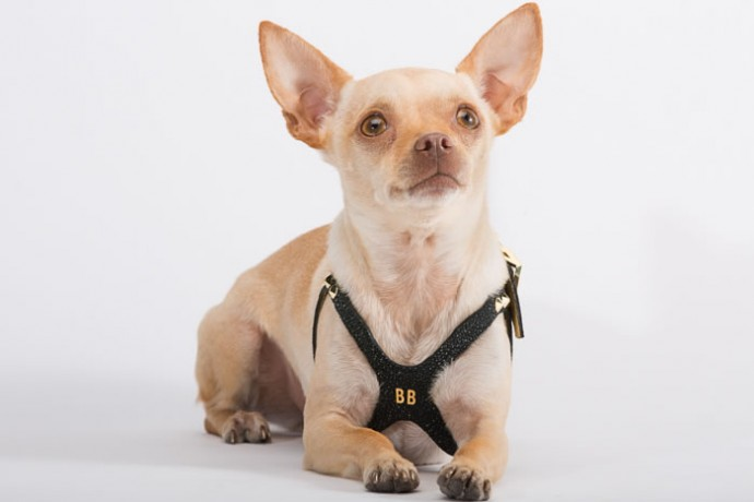 Lux Buddy Belt Dog Harness Gold and Diamond Dog Harness-