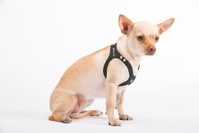 Lux Buddy Belt Dog Harness Gold and Diamond Dog Harness--