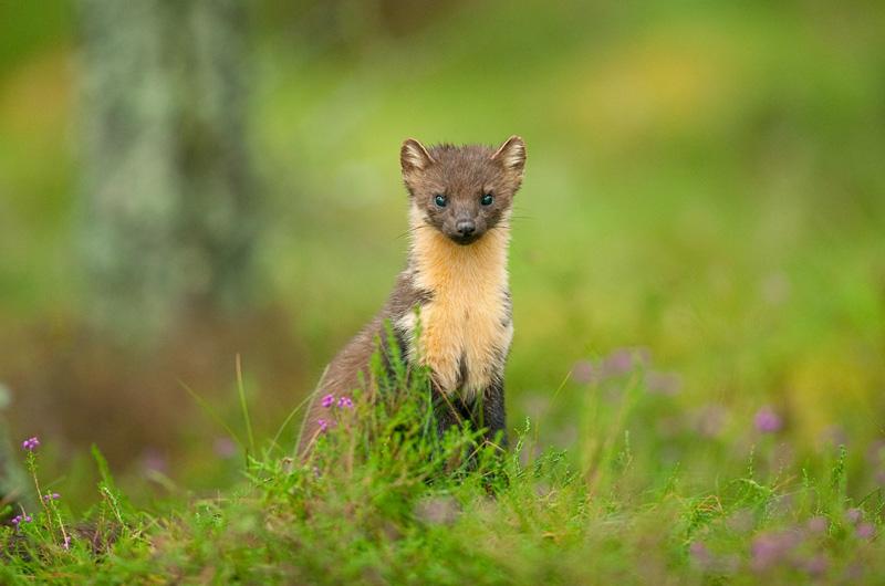 Pine marten (Martes martes), Scotland, UK