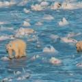 Polar Bears International
