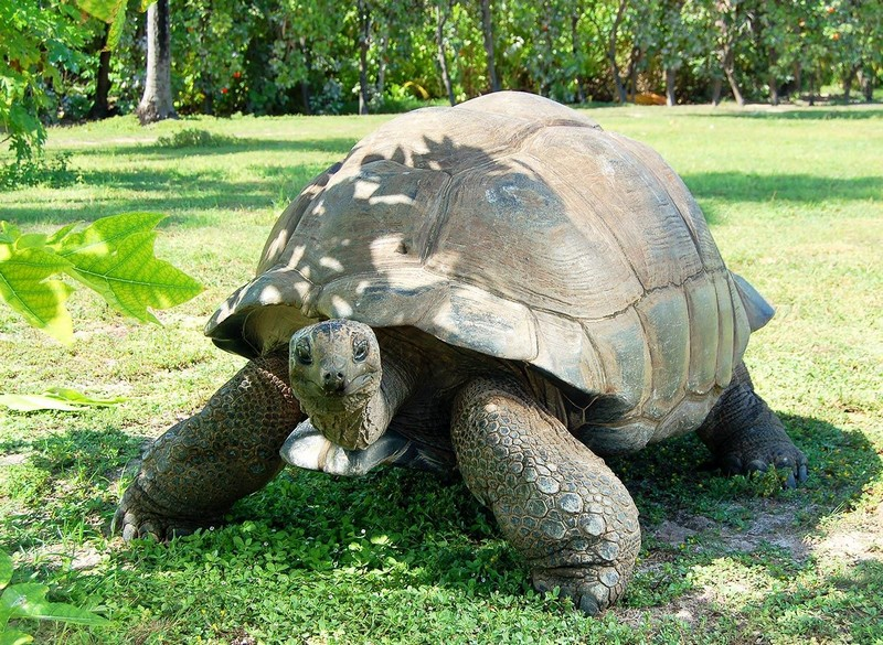 seychelles-giant-tortoise
