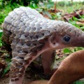 Sunda pangolin endangered species