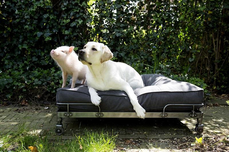 Wheely pig and labrador I