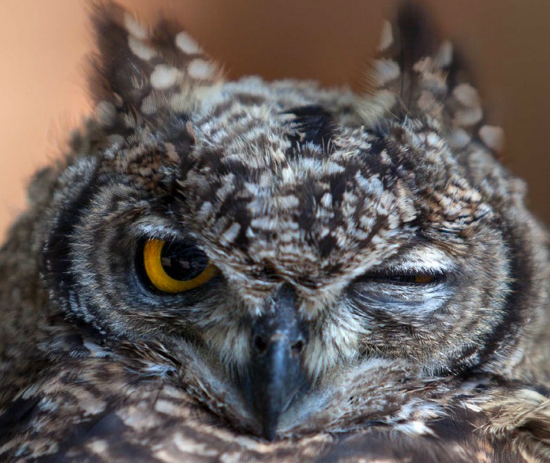 Zannetti Regent Jewellery Owl Limited Edition watch Baselworld 2016-inspiration