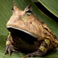 amazonhornedfromonaleaf-amazonian-rainforests