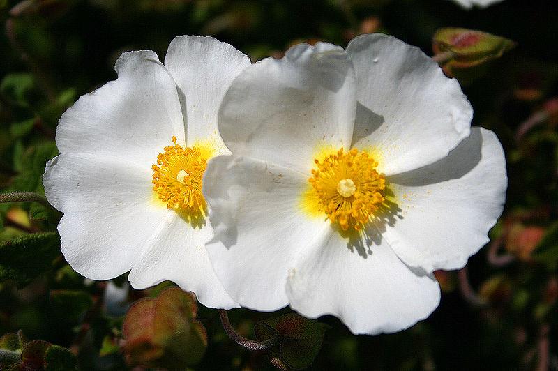 clarins montpellier rock rose