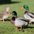 don't feed ducks with bread