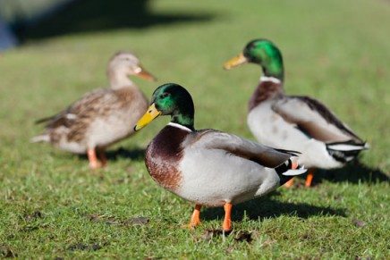 Don't feed the ducks bread, say conservationists
