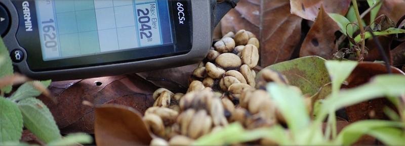 fresh kopi luwak