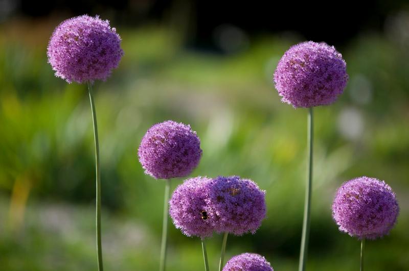 garlicflowers