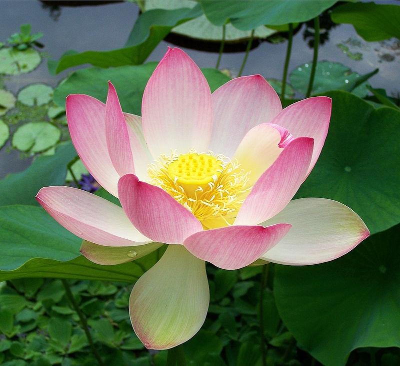 harry winston lotus