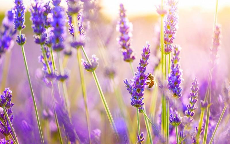 lavendergold