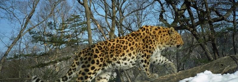 lemur leopards in the wild