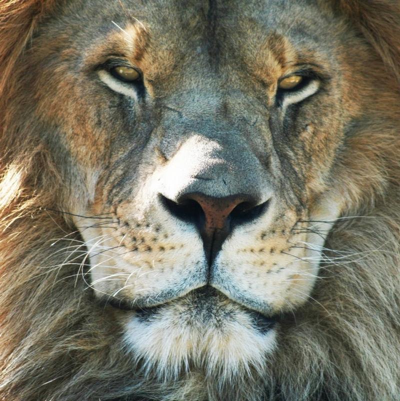lionface