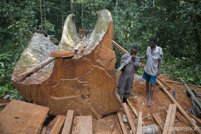 Logging in Ituri Forest