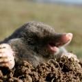 black mole hungry