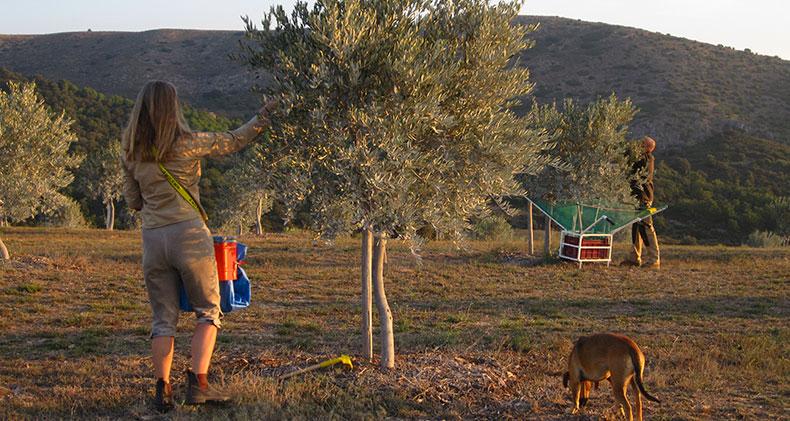 olive-harvesting-querubi-premiul extra virgin oil