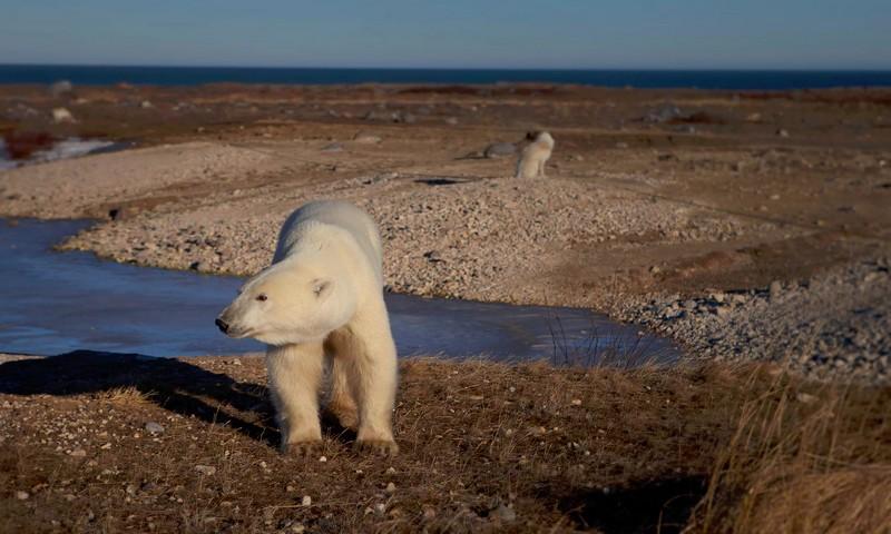 polar-bears-hudson-bay