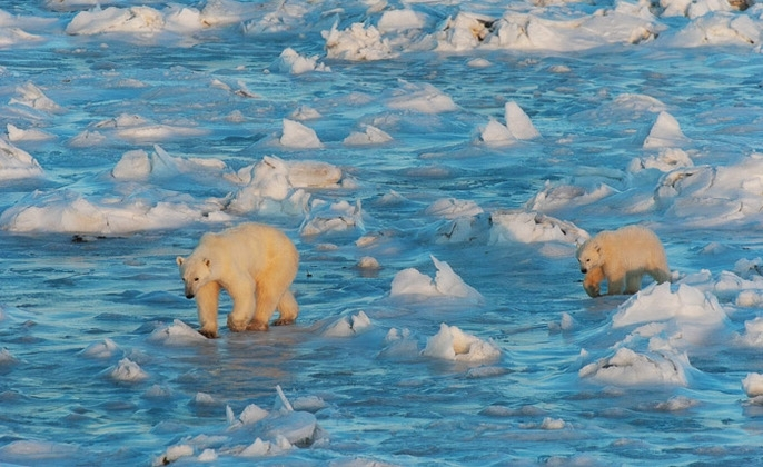 polar bears shrinking ice