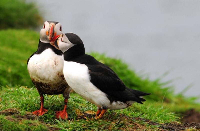 puffins facing extinction