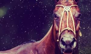 royal salute polo horses