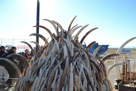 US crushes 6 tons of 'blood ivory' in largely symbolic move