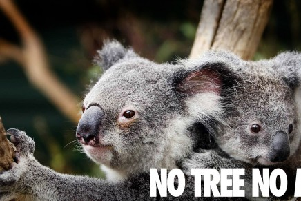Koalas face extinction without stronger protection, say conservationists