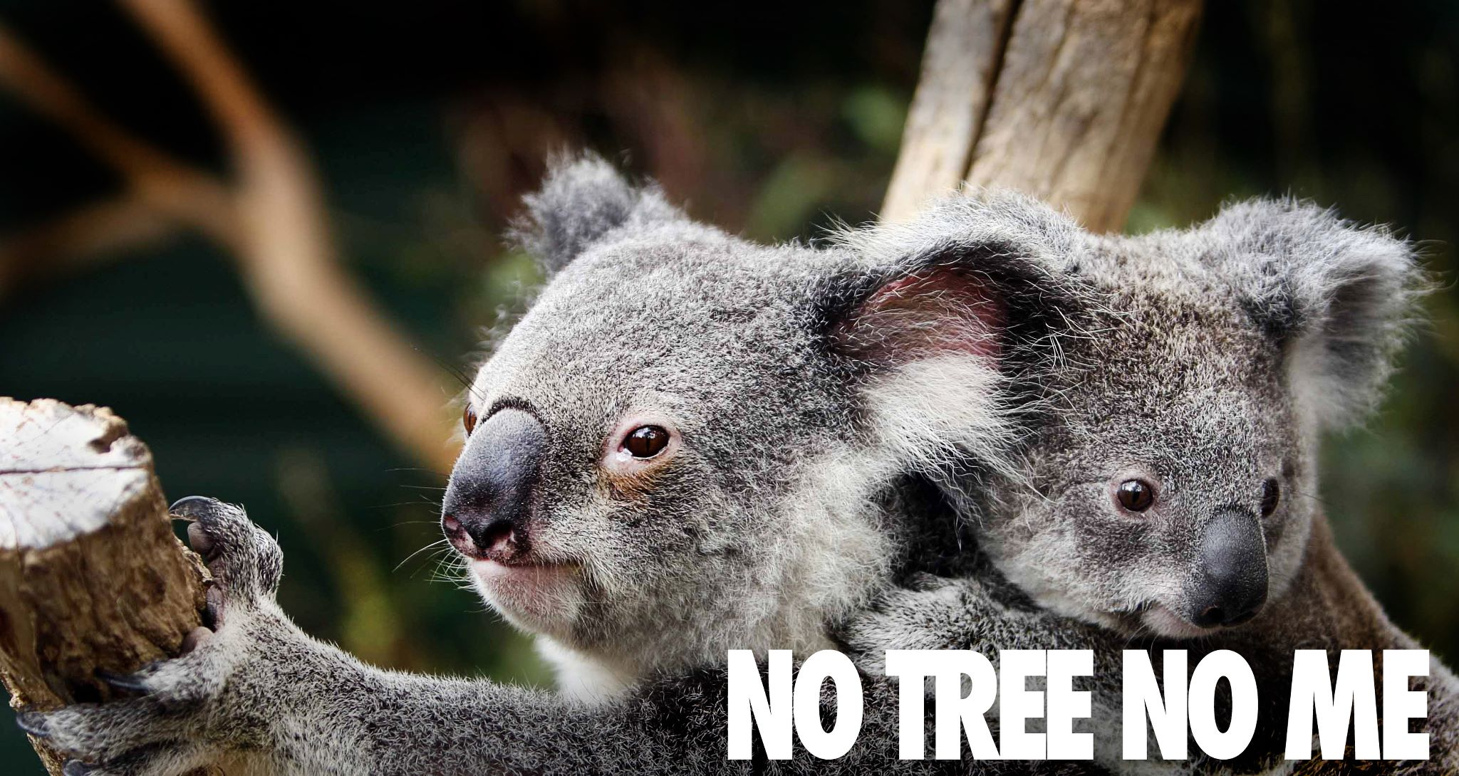 Luxury Tech Gifts Koalas Face Extinction Without Stronger Protection Say