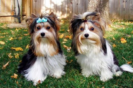 Biewer Terrier – A new toy breed recognized by The American Kennel Club