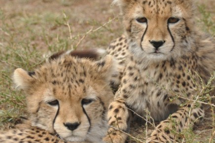 Cheetah smuggling driving wild population to extinction, report says