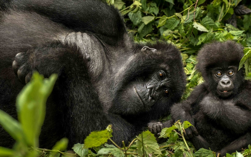 Get up close the famous mountain gorillas at One&Only Gorilla's Nest