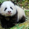 Giant Panda WWF