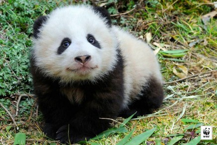 Giant panda no longer 'endangered' but iconic species still at risk