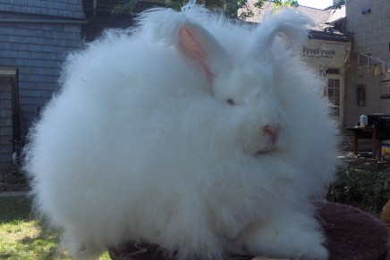 A cruelty-free angora fur trade may be incompatible with fast fashion
