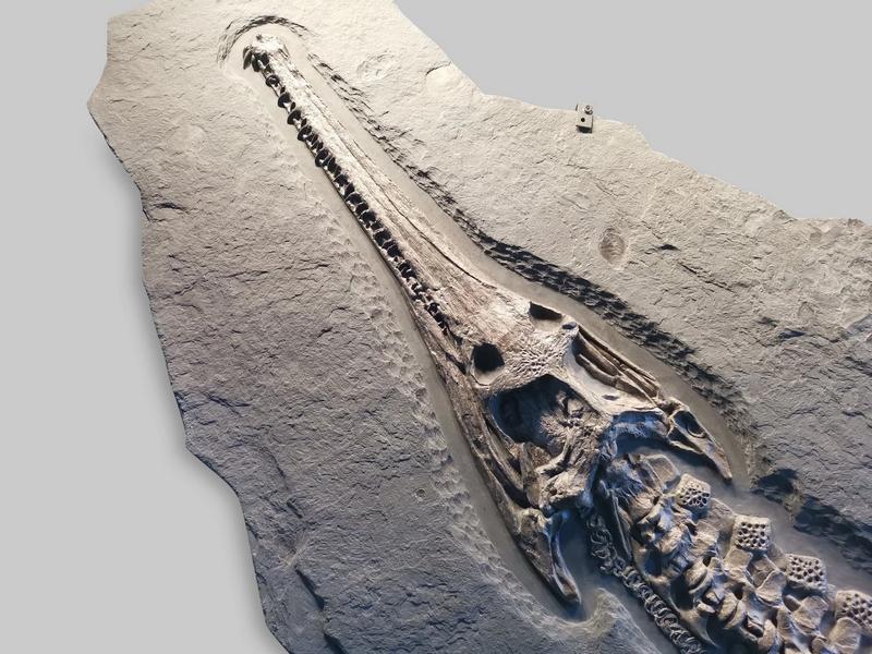 IMPECCABLY PRESERVED JURASSIC CROCODILE - STENEOSAURUS BOLLENSIS