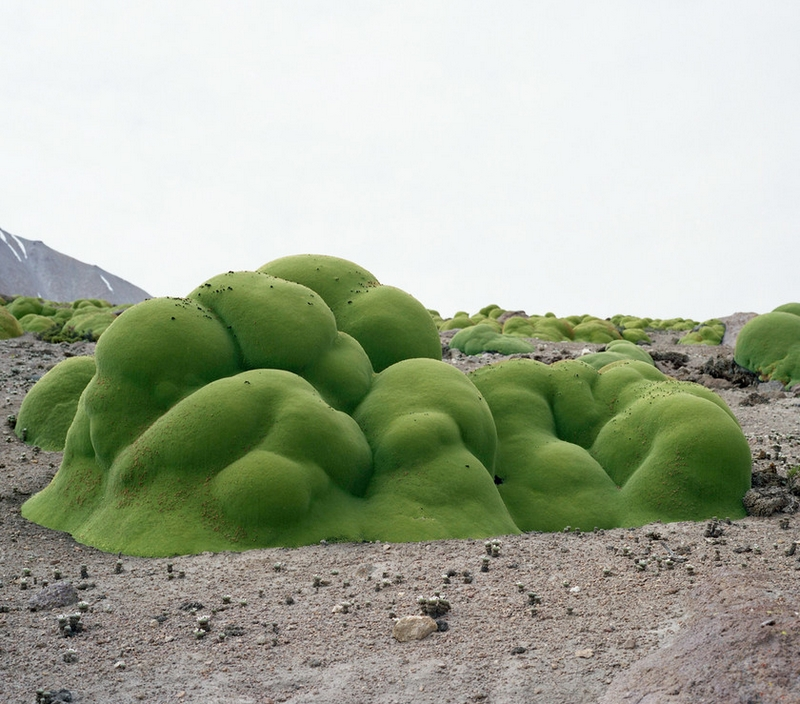 Llareta #0308-2B31 Up to 3,000 years old ; Atacama Desert, Chile, from The Oldest Living Things in the World by Rachel Sussman