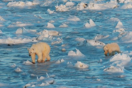 Polar bear population in frozen sea north of Alaska falls 40% in 10 years