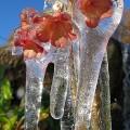 Primula frozen