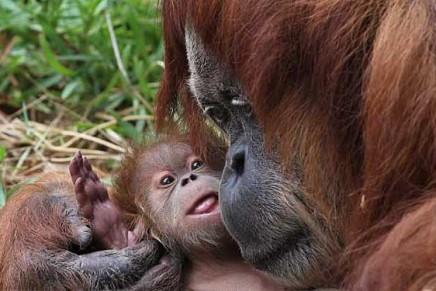 Orangutan experts plead for Australian food manufacturers to reject palm oil