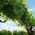 cognac vineyard