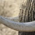 elephant-ivory