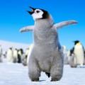 emperorpenguins-baby
