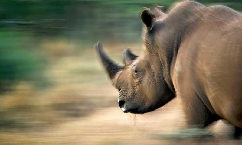 farming rhinos